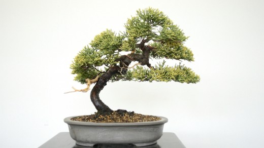 travail genevrier bonsai - après