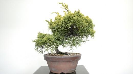 travail genevrier bonsai - avant